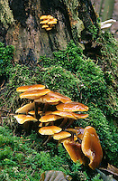 Gemeiner Samtfußrübling, Gemeiner Samtfuß-Rübling, Pilzgruppe an Baumstubben, Winterpilz, Winter-Pilz, Enoki, Enokidake, Enokitake, Flammulina velutipes, Collybia velutipes, golden needle mushroom, winter mushroom, velvet foot,  velvet stem