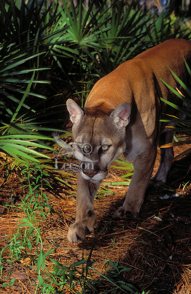 FLORIDA PANTHER walking through pine and saw palmetto forest..Endangered Species. Florida..(Felis concolor coryi).