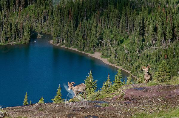 Rocky Mountain Bighorn Sheep (Ovis canadensis).  Glacier National Park, Montana.  Summer.