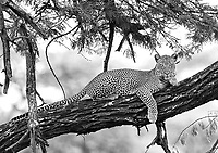 This remains one of my favorite wildlife encounters. We were in Tarangire National Park when I (not our eagle-eyed guide) spotted this handsome male leopard in a tree. It turned out he was accompanied by a female. A pretty special first leopard encounter!