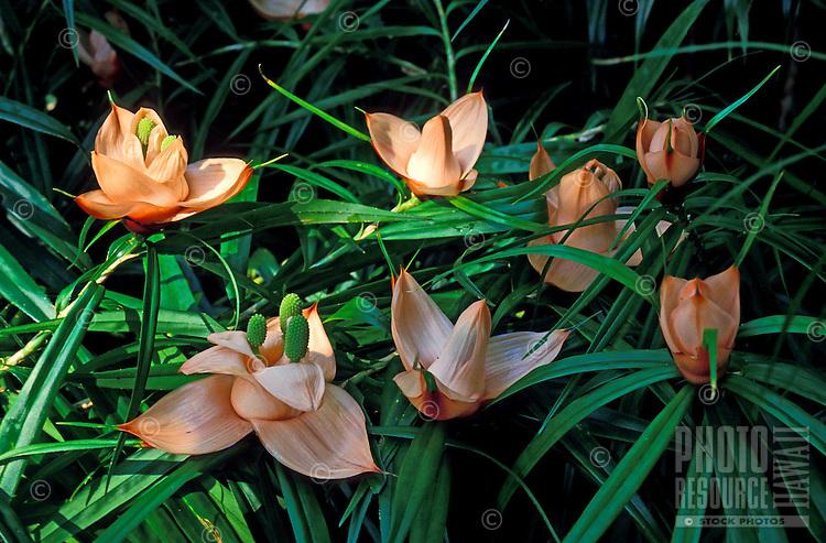 Group of climbing pandanus plants (Freycinetia multiflora)