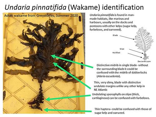 Undaria pinnatifida, commonly known as Wakame or Japanese kelp identification