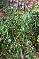 Miscanthus sinensis Zebrinus in flower ornamental grass