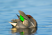 Green-winged Teal (Anas crecca) drake preening.  Pacific Northwest. Winter. The green-winged teal is one of North America's smallest ducks, weighing around 12 ounces.  It has a wingspan of 23 inches and an overall length of 14 inches.
