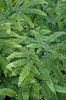 Amerikanischer Frauenhaarfarn, Pfauenrad-Frauenhaarfarn, Hufeisen-Farn, Pfauenrad-Farn, Hufeisenfarn, Pfauenradfarn, Adiantum pedatum, Northern Maidenhair Fern, Five-fingered Fern