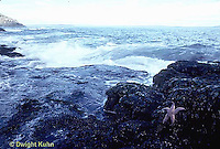 ON01-003z  Starfish - specimen of Boreal Asterias on rocks near ocean at Acadia National Park - Asterias vulgaris