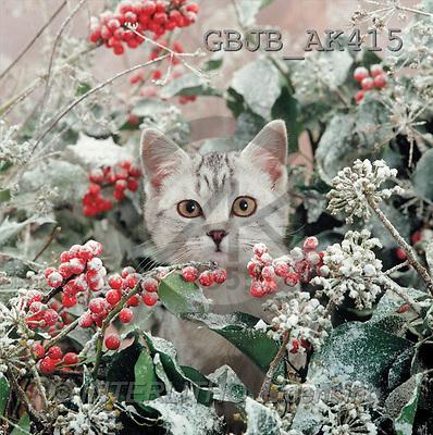 Kim, CHRISTMAS ANIMALS, photos, kitten, snowy holly(GBJBAK415,#XA#) ,puzzles