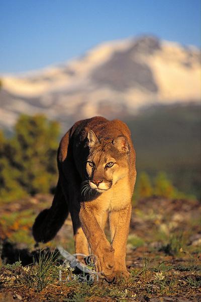 COUGAR ( Felis concolor)..Male in alpine meadow. Summer..Rocky Mountains.