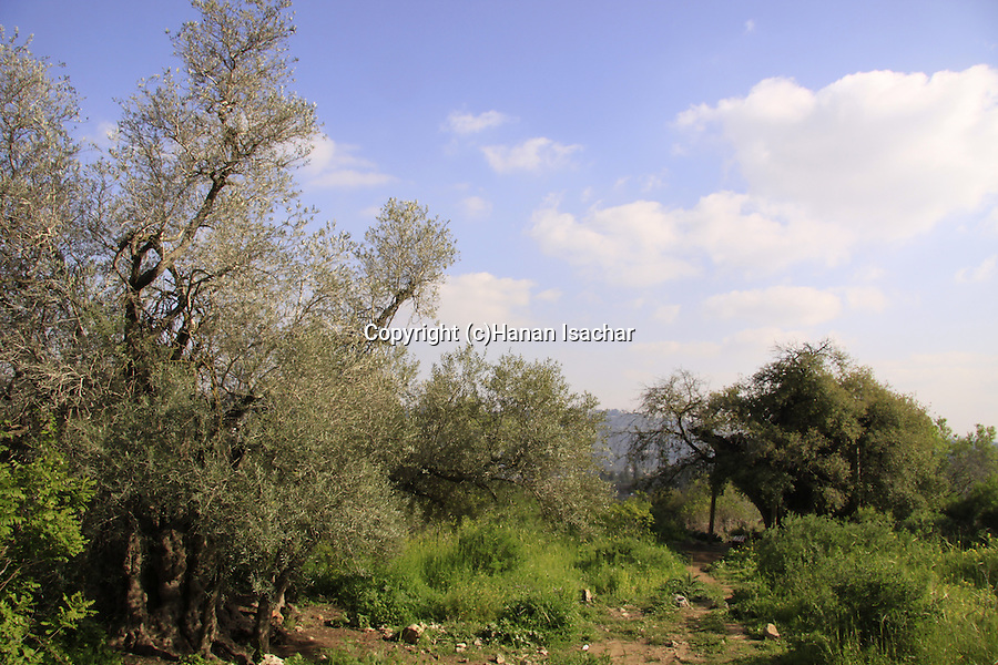 Israel, Jerusalem Mountains, an Olive tree (left) and an Oak tree on Mount Tzuba