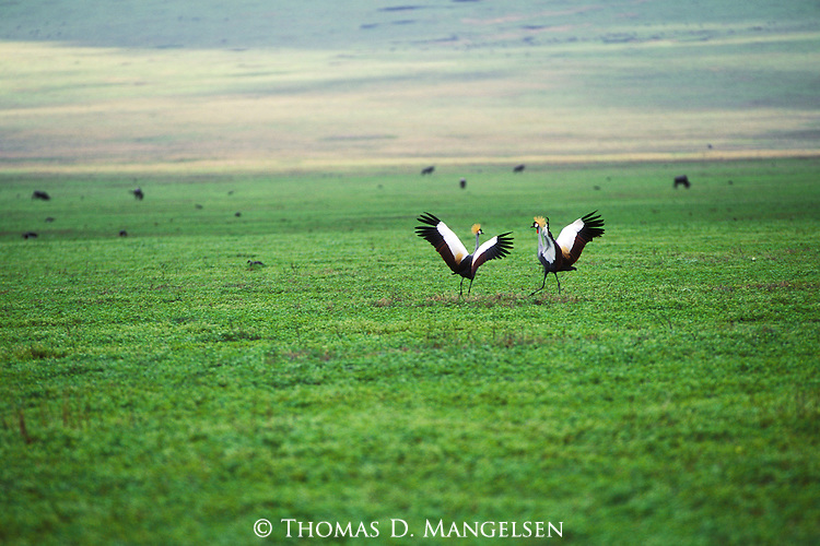 Two grey crowned cranes dance on the floor of the Ngorongoro Crater in Tanzania.
