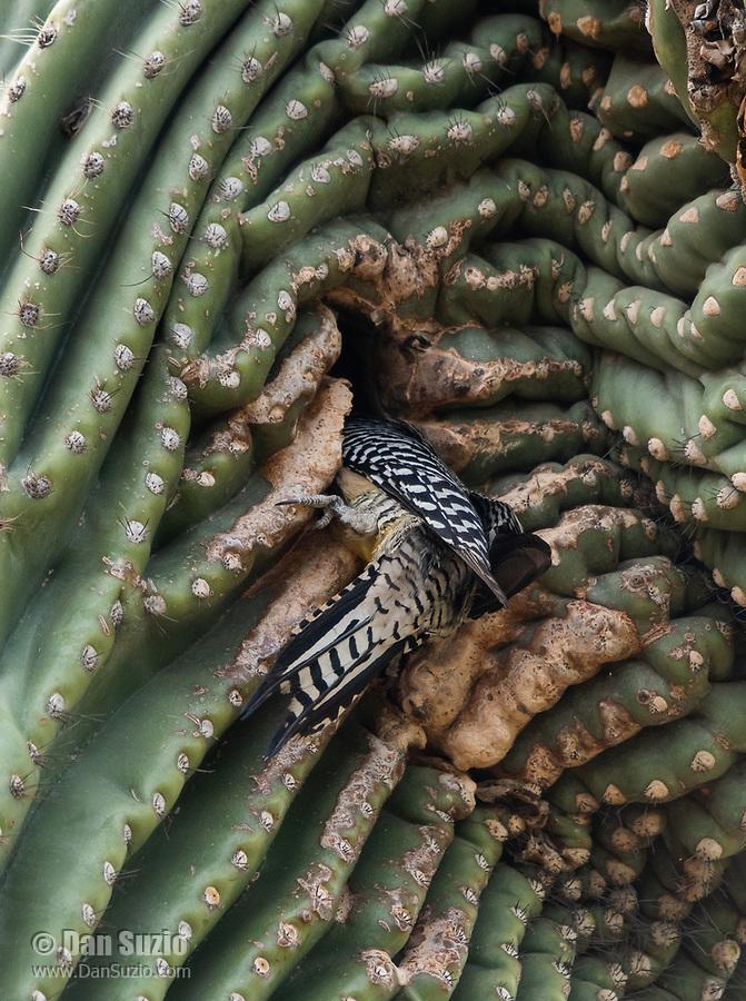 A Gila Woodpecker, Melanerpes uropygialis, enters its nest cavity in a Saguaro cactus, Carnegiea gigantea, in the Desert Botanical Garden, Phoenix, Arizona