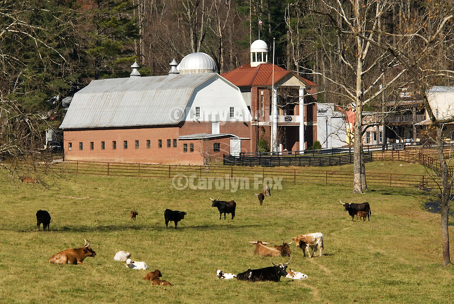 Brick and wooden barn, house, cattle resting in field, Puncheon Creek Ranch, Fruitland, North Carolina.