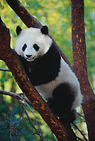 Panda climbing tree.