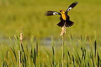Yellow-headed Blackbird spring/summer mating-territorial song/display.  Klamath Marsh National Wildlife Refuge, OR.
