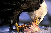 Bald Eagle (Haliaeetus leucocephalus).  Kenai Peninsula, Homer, Alaska.