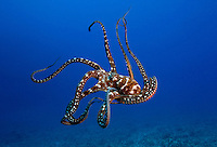 Day octopus, Octopus cyanea, Hawaii.<br />