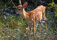 FAWN ALONE, POSSIBLE ORPHAN OF MURDERED DOE. ENDANGERED SPECIES, ECOLOGY, ENVIRONMENTAL,. NO NAME KEY FL.