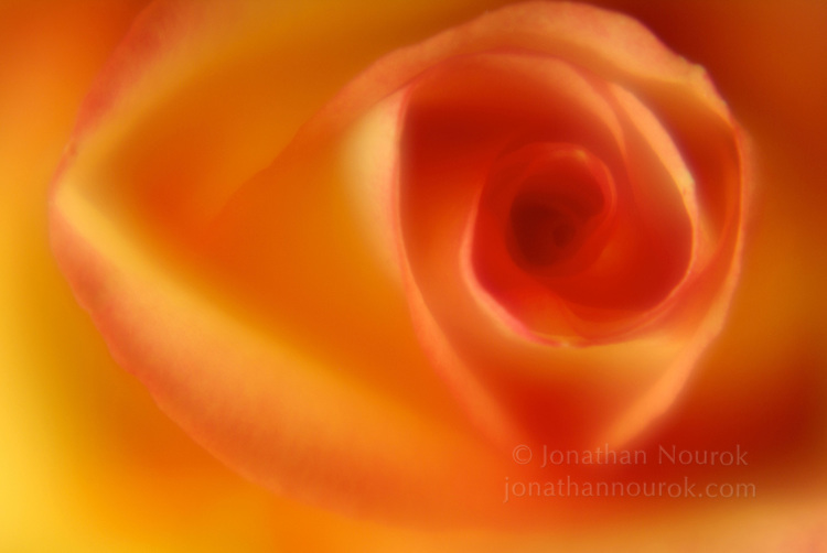 close-up of a yellow / orange rose flower