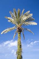 Date Palm at the Majorelle Gardens, Marrakech, Morocco