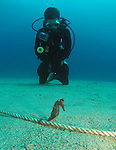 Kenting, Taiwan -- Encounter with a Zebra-Snout Seahorse.