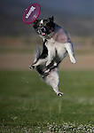 Dexter plays frisbee in Gardnerville, Nev., on Tuesday, July 1, 2014.<br /> Photo by Cathleen Allison