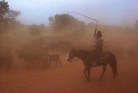 Stockman mustering Cattle on Horseback Central Australia