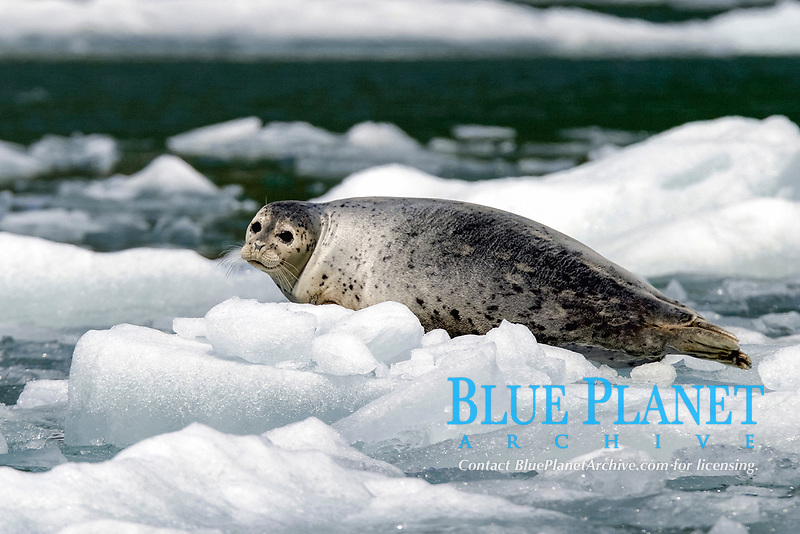Adult Harbor Seal, Phoca vitulina, hauled out on ice in Tracy Arm, Southeast Alaska, USA. Pacific Ocean