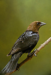 Brown-headed cowbird, Molothrus ater, blackbird
