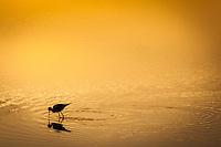A Black-necked stilt in silhouette, feeding at sunrise in a golden pond.