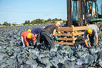Haarvesting cabbage with gang labour - Lincolnshire, September
