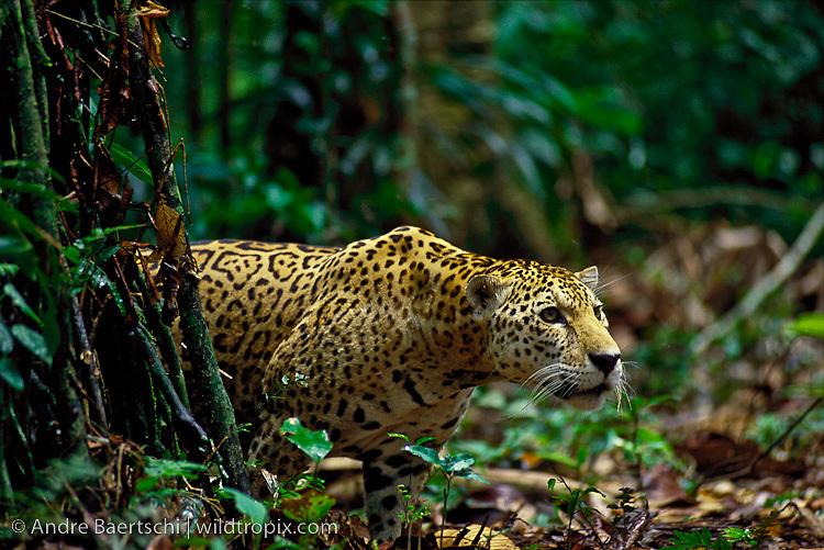 Jaguar (Panthera onca), in lowland tropical rainforest, Manu National Park, Peru.