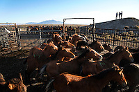 Foals, mares and stallions are separated into pens after being gathered in the Jackson Mountains of Nevada. They are shipped to Palomino Valley to be sorted and inspected.  Mares and foals are marked to they can be reunited when possible.