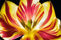 Close up of tulip flower.
