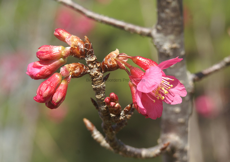 Cherry buds and blossoms