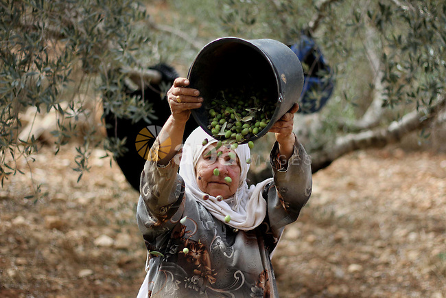 A Palestinian farmer sorts olives at an olive orchard in the West Bank city of Ramallah, 21 October 2013. Regional farmers are harvesting their olives this year from mid-October until 01 November. According to figures issued by the United Nations some 80,000 Palestinian families earn their income from growing olives in plantations which reportedly occupy about 48 per cent of the agricultural land in the West Bank and Gaza strip. About 93 per cent of the olive harvest pressed to oil with the rest being used in soap production. Photo by Issam Rimawi
