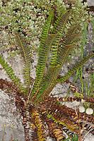 Lanzen-Schildfarn, Lanzenschildfarn, Schildfarn, Polystichum lonchitis, Polystichetum lonchitis, northern holly fern