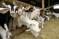 Milking goats at a feed barrier, Cheshire.