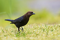 Brown-headed Cowbird (Molothrus ater ater), male, a spring migrant foraging in Central Park, New York City, New York.