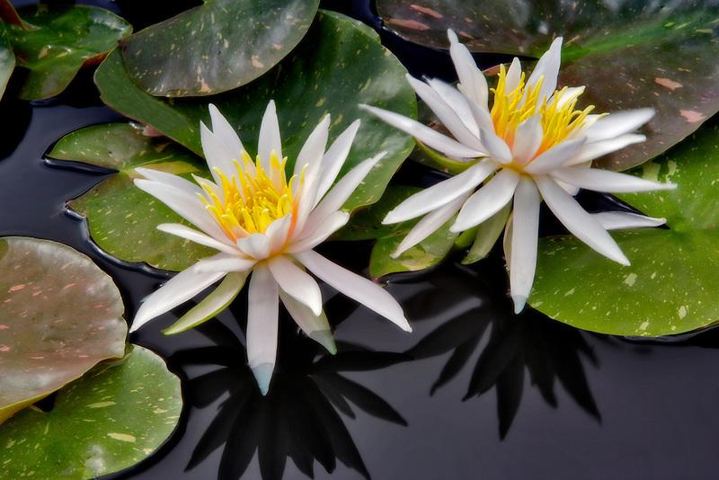 Water Lily - (Arc-en-ciel). Hughes Water Gardens. Oregon