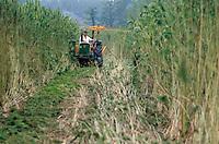 La coltura della canapa in Italia. Carmagnola(TO), sede dell'Assocanapa.Uso industriale della canapa.Fibra, mietitura