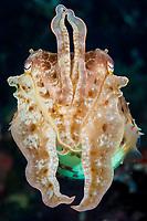 Broadclub Cuttlefish, Sepia latimanus, Bali, Indonesia, Pacific Ocean
