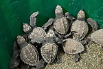 Olive Ridley Sea Turtle (Lepidochelys olivacea) hatchlings ready to be released, Osa Conservation, Osa Peninsula, Costa Rica