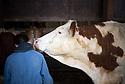 13/02/17 - PICHERANDE - PUY DE DOME - FRANCE - GAEC de l Edelweiss. Vaches sur aire paillee pour illustrer le bien etre animal - Photo Jerome CHABANNE