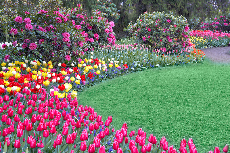 Roozengaarde display garden with path and mixed tulips and rhododendrons. Mt. Vernon. Washington