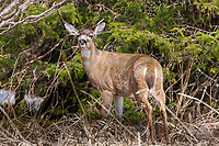 Sitka black-tailed deer, Montague Island, Prince William Sound, southcentral, Alaska
