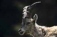 Alpen-Steinbock, Alpensteinbock, Steinbock, junges Männchen, Bock, Portrait, Capra ibex, alpine ibex