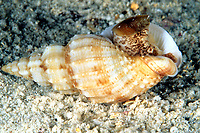 Whelk, Phos articulatus, Cocos Island, Costa Rica, Pacific Ocean