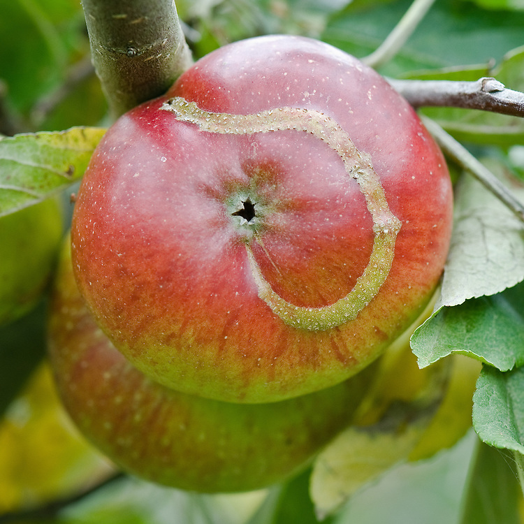 Ribbon-like, raised scar on the skin of Apple 'Anna Boelens', early September. The scar indicates where a young apple sawfly maggot has hatched and fed just below the surface.