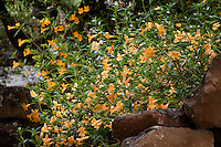 Orange flowering subshrub Sticky Monkey (Mimulus or Diplacus aurantiacus) Kyte California native plant garden