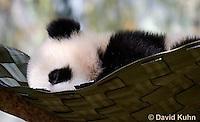 0502-1002  Sleeping Cub, Giant Panda Cub at San Diego Zoo, Ailuropoda melanoleuca  © David Kuhn/Dwight Kuhn Photography.